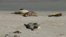 Leoni marini a Seal Bay (foto: Anna Luciani)