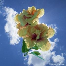 floating hibiscus