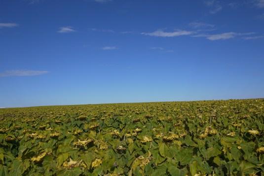 Sunflower fields in North Dakota