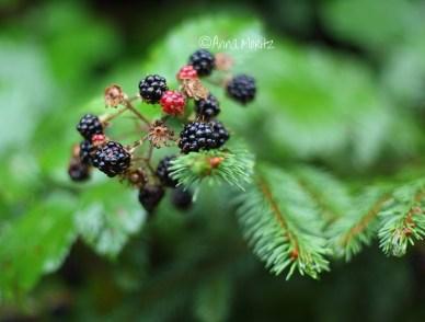 blackberries are ready