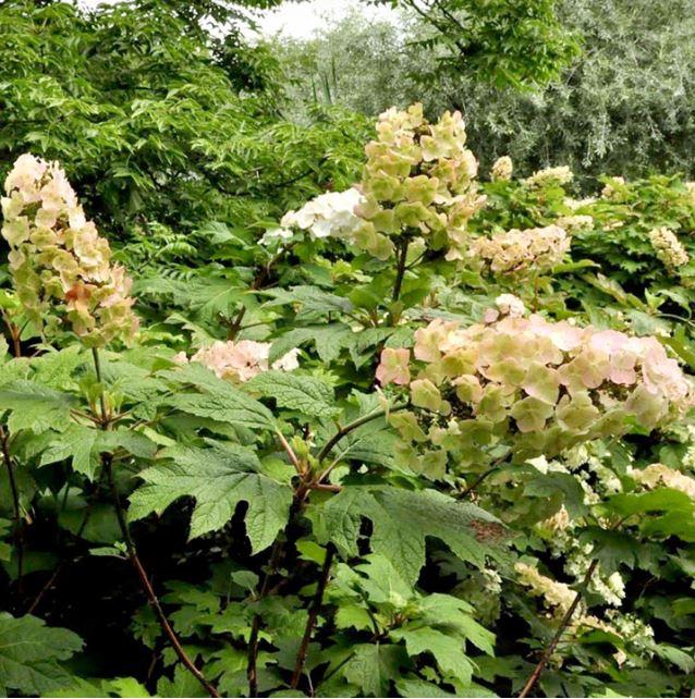 Dobies Hydrangea quercifolia 'Snow Queen'