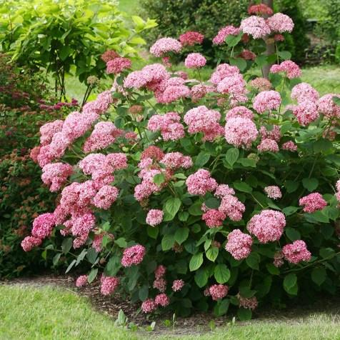 Waitrose Hydrangea arborescens Pink Annabelle
