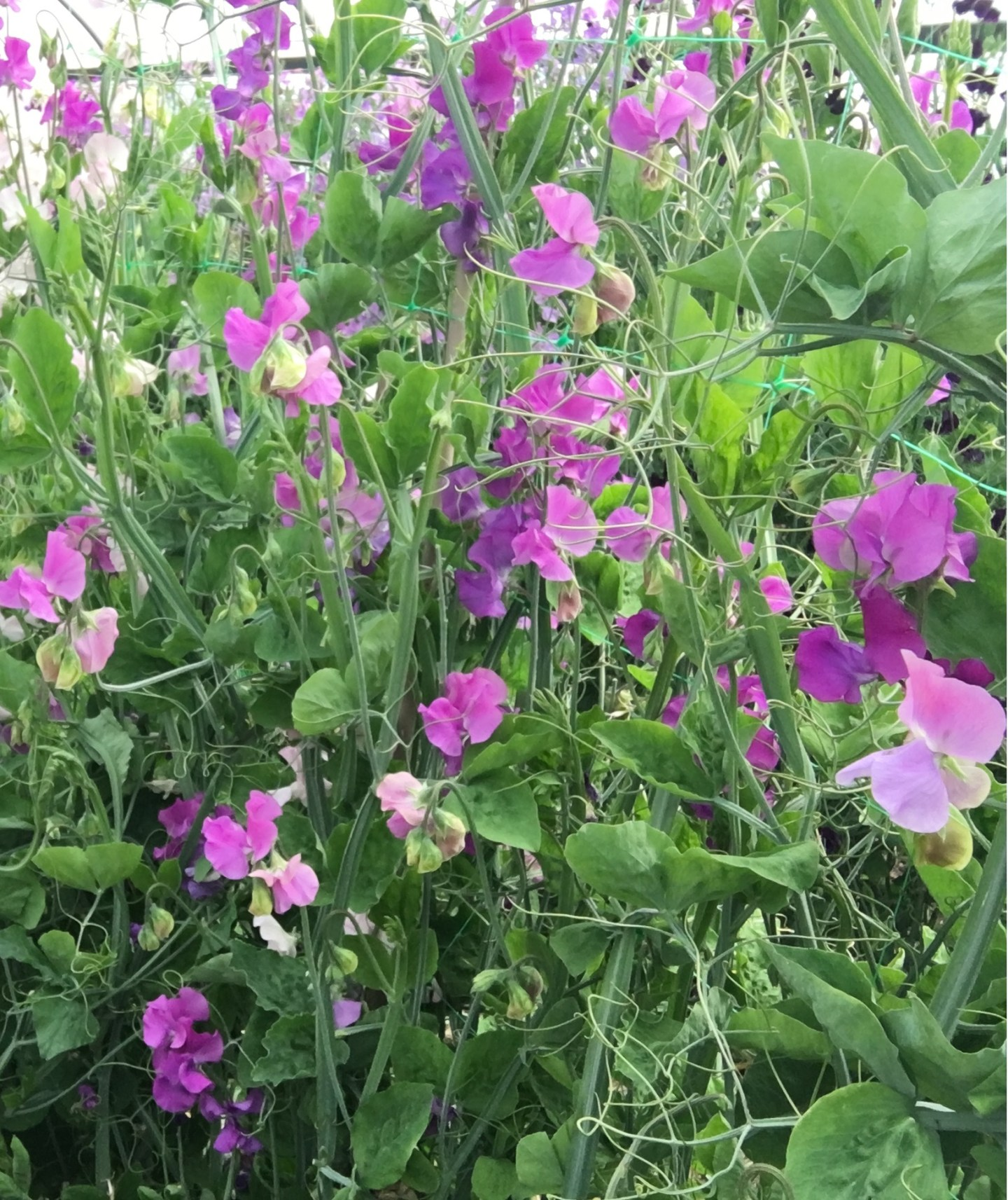 Sweet pea cut flowers