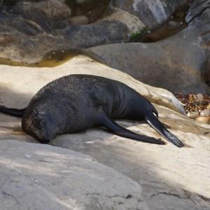 Robbe liegt auf einem Fels