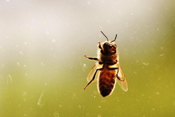 Bee // Abeille