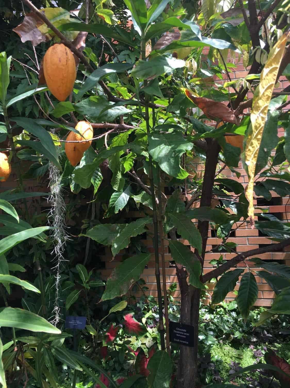 Matthaei Botanical Garden   Conservatory   Chocolate Plant