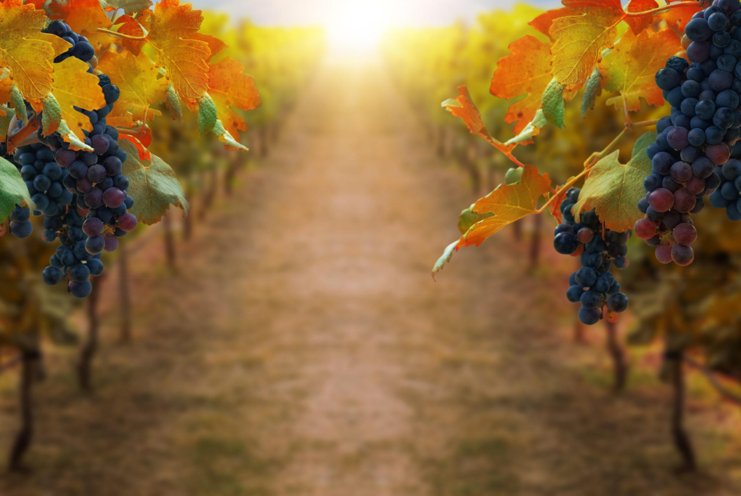 Grapes in vineyard landscape in Transylvania