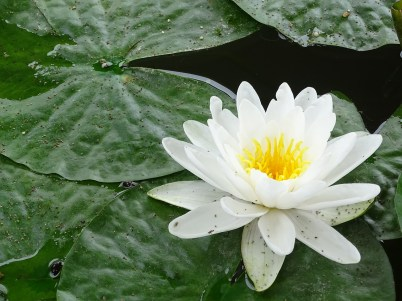 water-lily-2427645_1280