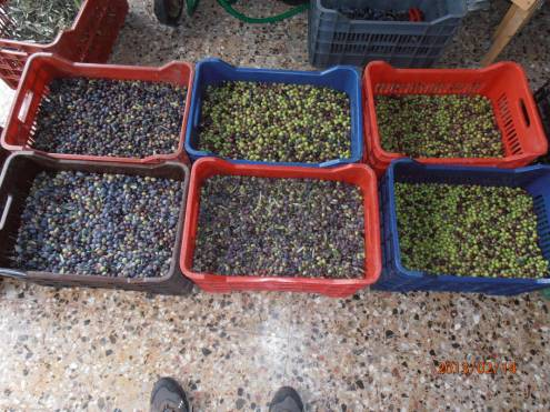 Olives at the farm