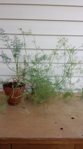 Dill plant 2014