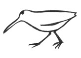 Illustration of a Snipe (Schnepfe) for an Magazine about animals