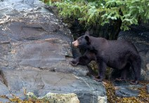 We saw at least seven bears. This is an American Black Bear. Photograph, Ann Fisher.
