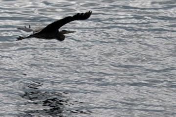 Great Heron flying near the cottage. Photograph, Ann Fisher.
