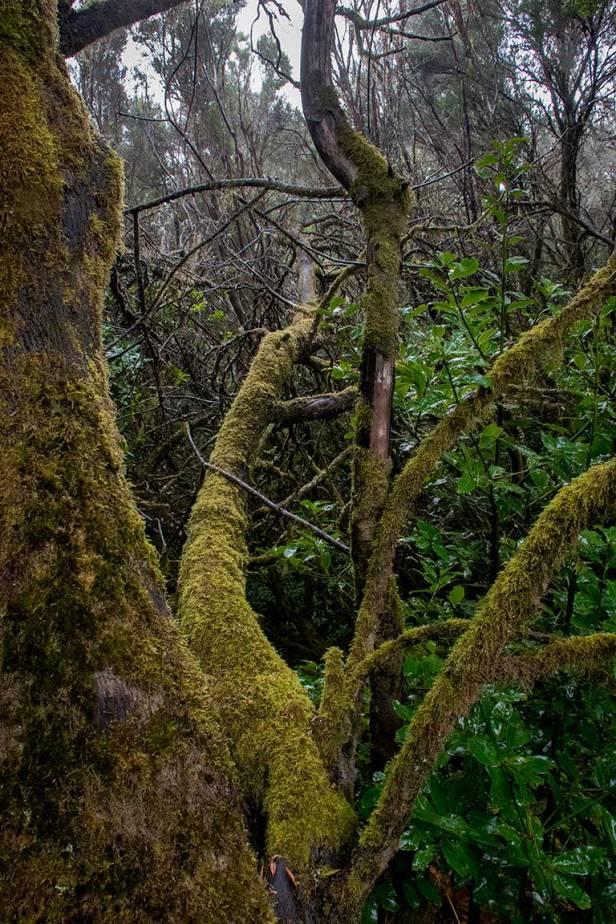 Laurel Rainforest, Garajonay National Park, La Gomera.