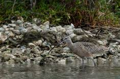 Curlew wading