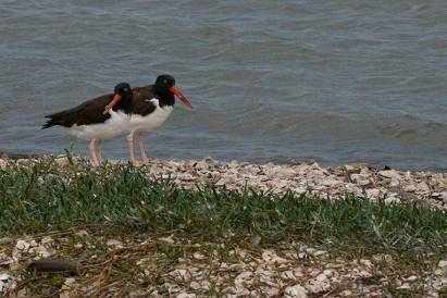 American Oyster Catchers