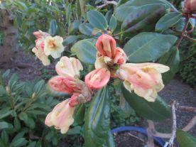 Med fantastisk fina blomknoppar