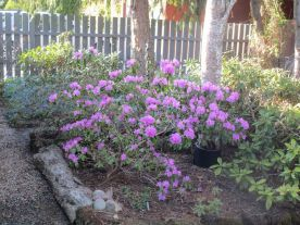 Tidigaste rododendronblomningen