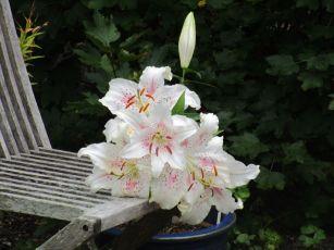 En senblommande lilja
