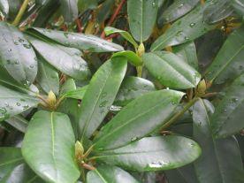 Rododendron börjar få knoppar