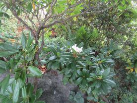 En del rododendron kan inte hålla sig utan börjar blomma nu