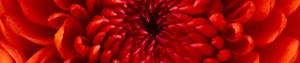 cropped Chrysanthemum - cropped-Chrysanthemum.jpg