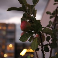 Apple Tree before the Storm...Dalston, London