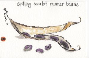 Scarlet Runner Beans watercolor by Anne Burgevin