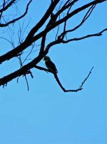 Kookaburra perched on tree, Castle Hill