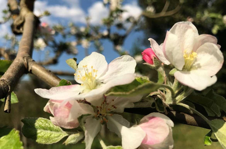 Epletrær i blomst. På vingården i Acquapendente i Italia.