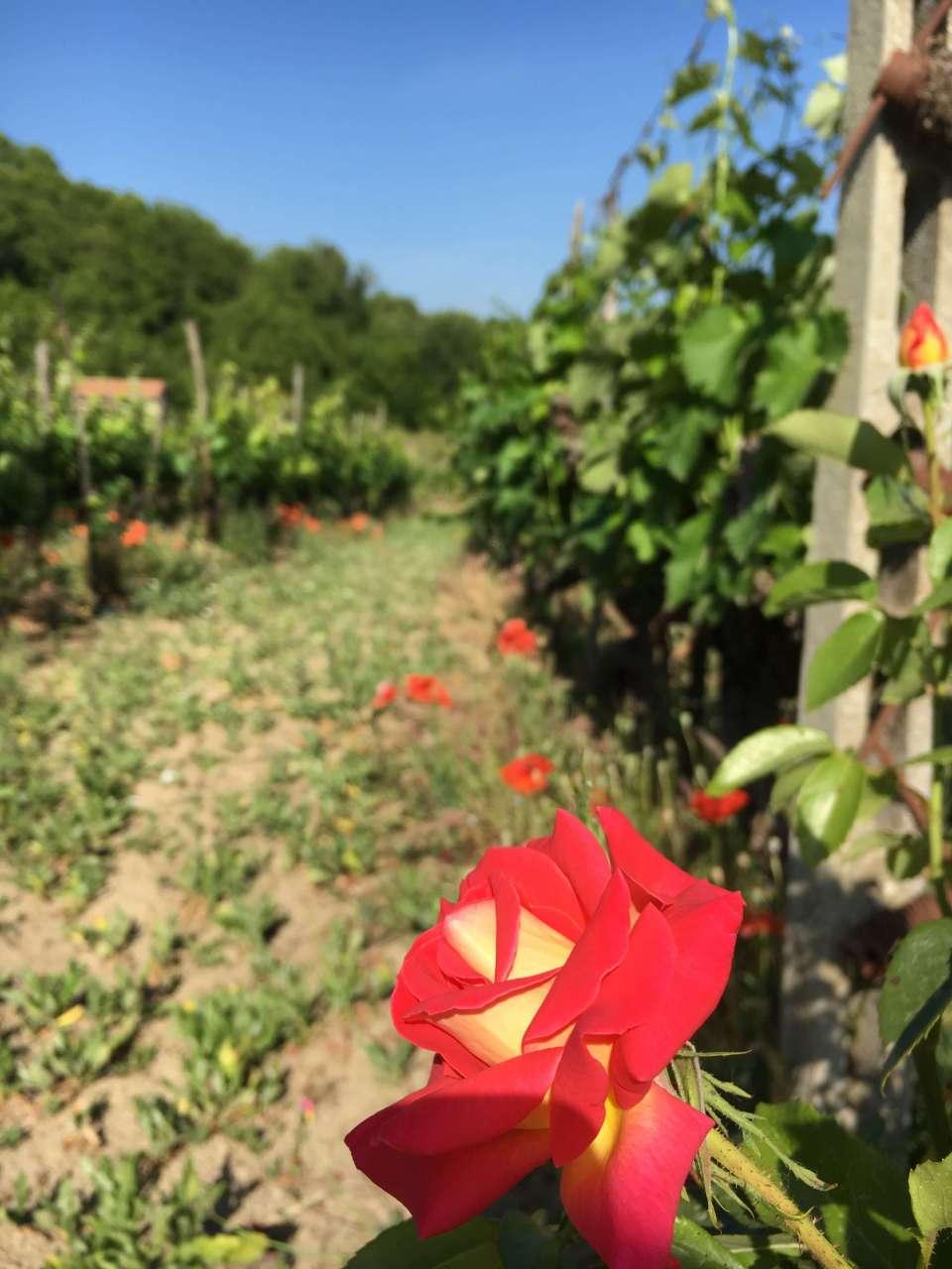 Har du lurt på hvorfor det er roser på vingården? De er nyttige for druer og vin. Klikk deg inn for å lese hvorfor de hjelper til å lage god vin.