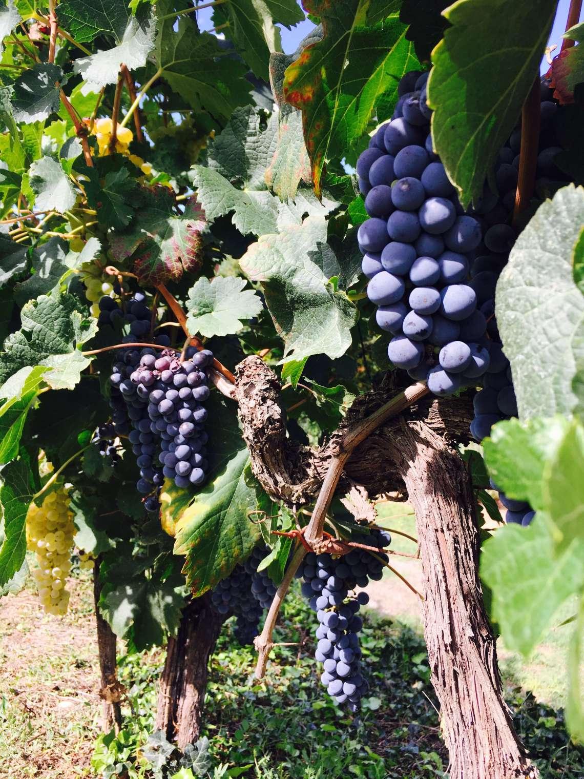 Da er jeg endelig på vei til å høste druer og lage vin på vingården vår i Italia. Jeg er fryktelig spent på hvordan druene er og hvor mye vin det blir.