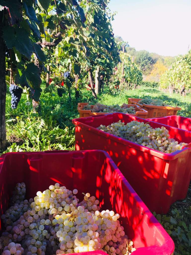The grapes are turning into wine in our vineyard in Italy. It has taken longer than usual, but the fermentation of the red grapes are finished.