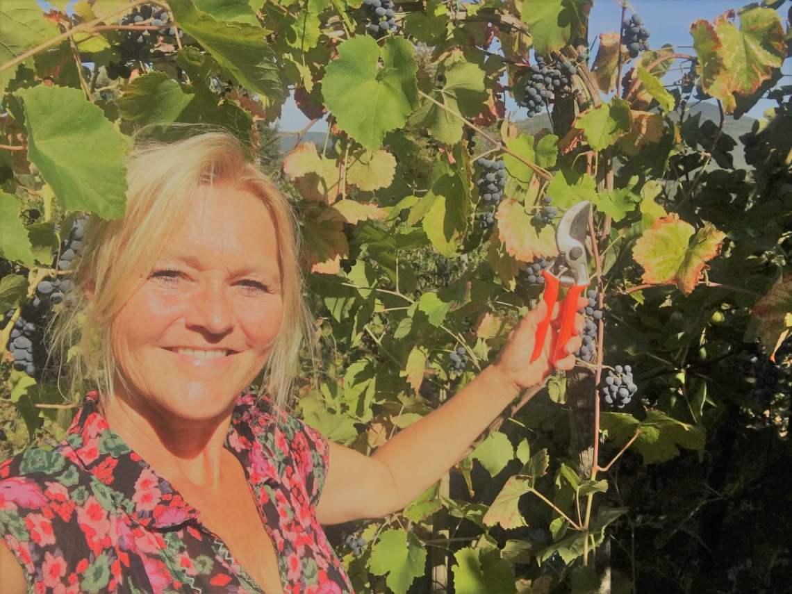 Jeg er klar med klippesaksa. Men jeg skal ikke høste - jeg skal klippe bort druer før innhøsting på vingården i Italia. En hjerteskjærende jobb. Mange av druene er så flotte. Hvorfor skal jeg klippe dem vekk da? Jeg tar utgangspunkt i dette med at liten avling gir bedre vin.