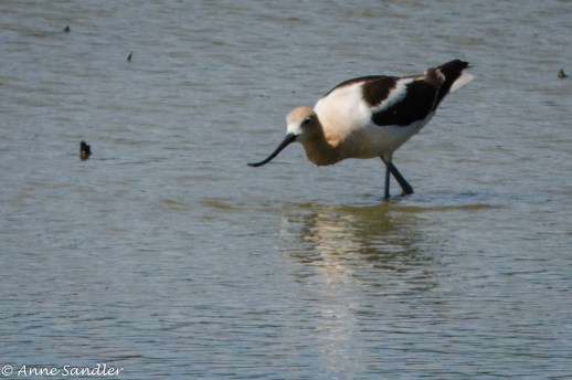 I think this is an Avocet that's fishing.