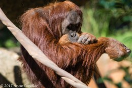 Finally, one of the orangutans came out to play.