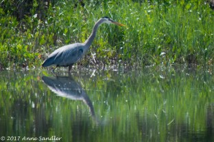 A great blue heron is fishing.