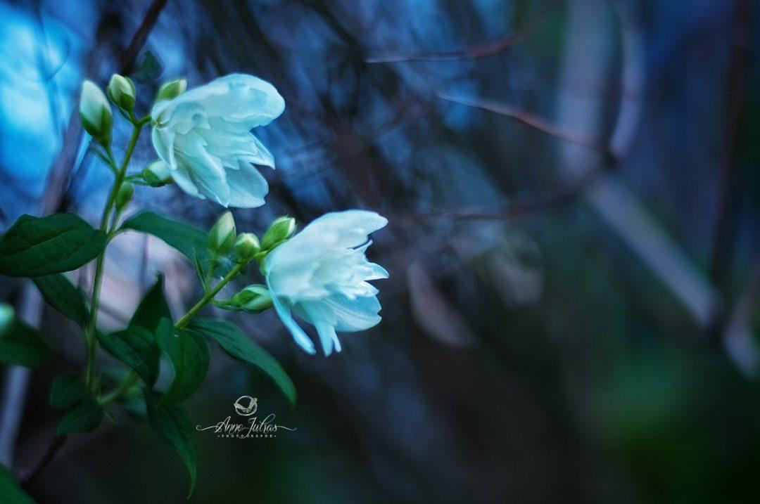 photos de fleurs - l'heure bleue