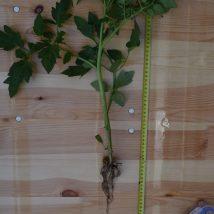 Tomato plant nr 2