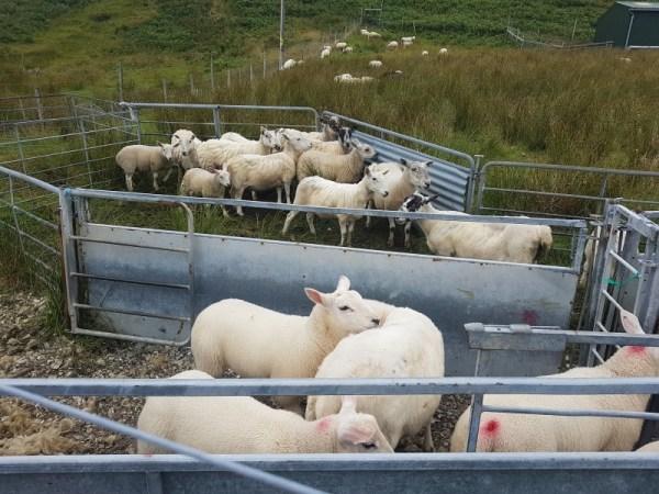 Net geschoren schapen
