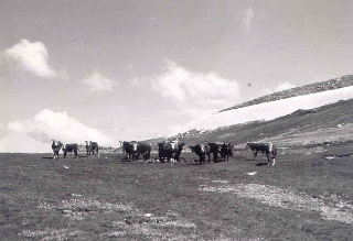 Cattle grazing in Snowy Mountains