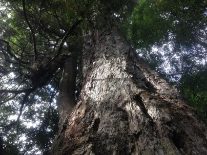 giantMyrtle2
