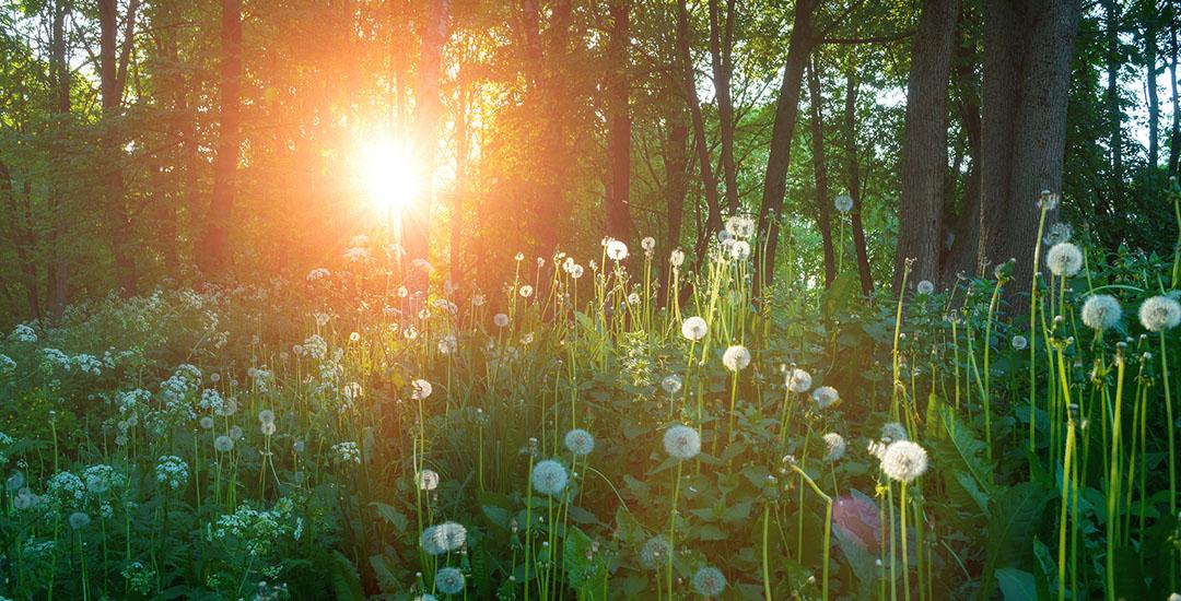 Dandelions in the Sunshine