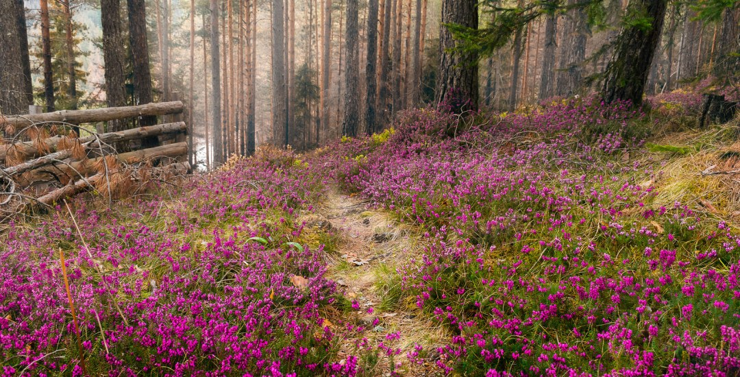 Purple Flowers Carpet In Pine Forest.
