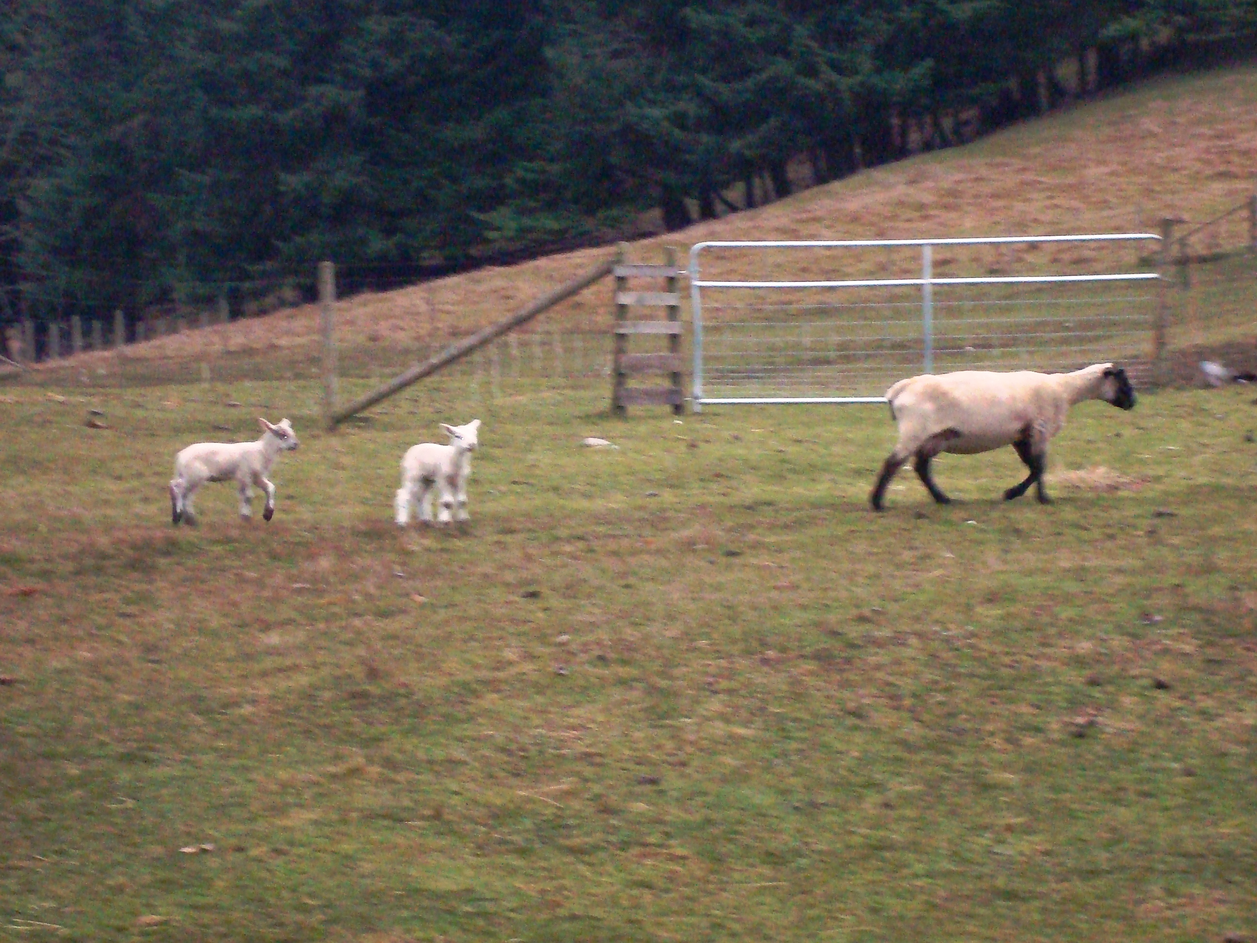 Lambs are everywhere on Salt Spring Island right now