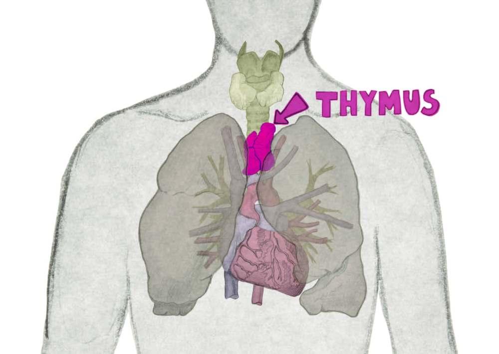 https://www.eurostemcell.org/regenerating-thymus