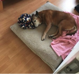 old dog lying on her bed