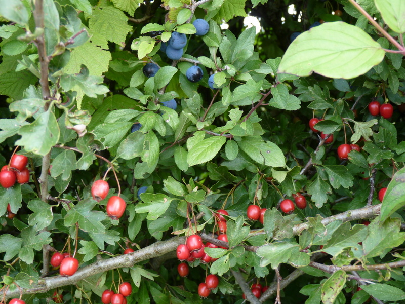 sloes and hawthorn berries