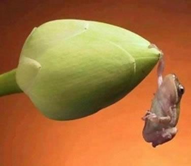 Tiny frog on lotus bud