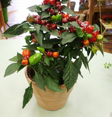 Vos plantes dappartement Poivron